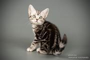 Американская короткошерстная. Котята различные окрасы