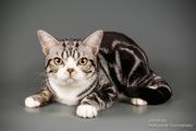Американский короткошерстный котенок мальчик