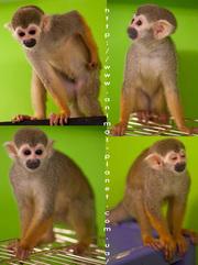 Саймири,  ручные обезьянки