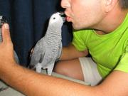 Жако Алохвостый,  полностью ручные птенцы