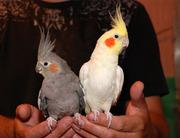 Корелла нимфа – ручные птенцы разного окраса