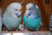 Волнистый попугай Выставочный Чех – ручные птенцы