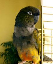 Патагонский попугай (Cyanoliseus patagonus)-ручные птенцы