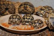 Сухопутные и  водяные черепахи