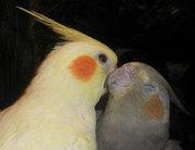 Корелла,  волнистый попугай,  Чехи,  неразлучники,  ожереловый попугай и д