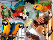 Ручные попугаи