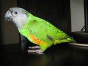 Сенегал - ручной попугай