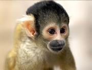 Ручные обезьянки из питомника