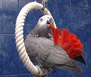 Ручные попугаи из питомника